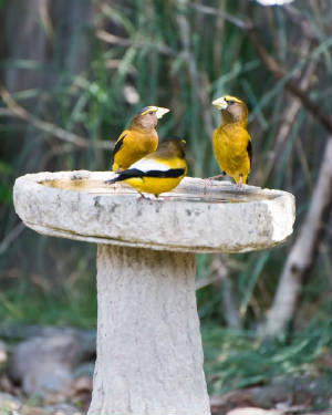 birdssinging8evening-grosbeaks-birds-singing-coccothraustes-vespertinus_w580_h725.jpg